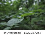 branch with green leaves  close ... | Shutterstock . vector #1122287267