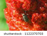 Small photo of stable fly or house fly very close up Latin stomoxys calcitrans muscidae or musca domestica on a ripening sumac, sumach or sumaq panicle also called staghorn, rhus typhinia or coriaria in Italy