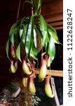 indoor carnivorous pitcher...   Shutterstock . vector #1122628247