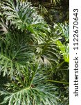 Small photo of Tropical green leaves Philodendron Sello, jungle plant, background.