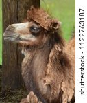Small photo of Camel is an ungulate within the genus Camelus, bearing distinctive fatty deposits known as humps on its back. There are 2 species of camels: the dromedary l has a 1 hump, and the bactrian has 2 humps