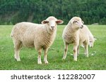 Sheeps In A Meadow In The...