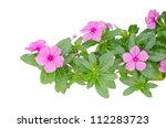 Periwinkle Flowers Isolated On...