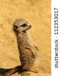 Baby Meerkat Standing Upright