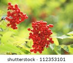Mountain ash branches with ripe red berries - stock photo