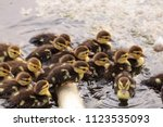 large flock of baby muscovy... | Shutterstock . vector #1123535093