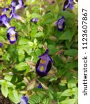 Small photo of Torenia (torenia Travancorica)