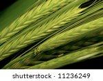 green wheat   Shutterstock . vector #11236249