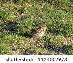 a female house finch extends a...   Shutterstock . vector #1124002973