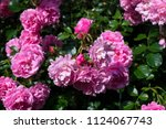 Stock photo the blooming bushes of roses in the garden close up 1124067743