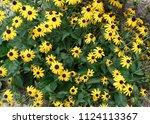 summer black eyed susans ...   Shutterstock . vector #1124113367