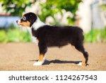 australian shepherd puppy | Shutterstock . vector #1124267543