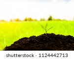 the seedling are growing in the ... | Shutterstock . vector #1124442713