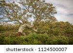 cork oak forest   quercus suber ... | Shutterstock . vector #1124500007