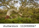 cork oak forest   quercus suber ... | Shutterstock . vector #1124500067