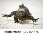 Marine Iguana walking straight at you - stock photo