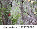 red male northern cardinal... | Shutterstock . vector #1124760887