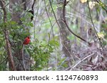 red male northern cardinal... | Shutterstock . vector #1124760893