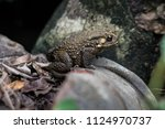 toad is on a rock. | Shutterstock . vector #1124970737