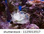 sea anemone in mini aquarium | Shutterstock . vector #1125013517