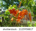 tiger lily or ditch lily...   Shutterstock . vector #1125958817