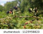 ripe and ripening summer...   Shutterstock . vector #1125958823