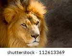 Close Up picture of a male lion staring - stock photo