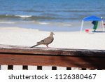 mourning dove bird perched on... | Shutterstock . vector #1126380467