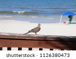 mourning dove bird perched on... | Shutterstock . vector #1126380473
