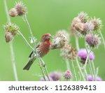 colorful male purple finch ...   Shutterstock . vector #1126389413