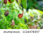 insectivorous plant ...   Shutterstock . vector #1126478357