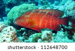 Coral Grouper  - Cephalopholis miniatus fish commonly known as Vermillion seabass as well as Jewel Grouper or Coral Hind - stock photo