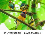 the lady gouldian finch ...   Shutterstock . vector #1126503887