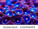 corals in a marine aquarium. | Shutterstock . vector #1126546493