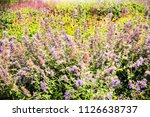 lavender and heather flowers.... | Shutterstock . vector #1126638737