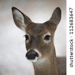 White Tailed Deer Doe  Detaile...