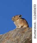 Small photo of American Pika, a cool weather, high elevation mammal, is a species that will suffer from global warming; alpine and mountain wildlife