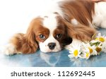 with sad spaniel eyes, Cavalier king charles spaniel dog and flowers chamomile - stock photo