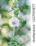 white marshmallow flower. marsh ...   Shutterstock . vector #1127053877
