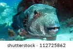 Mbu pufferfish, giant pufferfish or giant freshwater puffer, Tetraodon mbu - stock photo