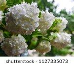 beautiful white viburnum... | Shutterstock . vector #1127335073