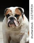 Morose English Bulldog portrait - stock photo
