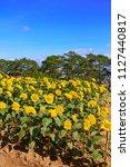 field of sunflower  helianthus  ...   Shutterstock . vector #1127440817