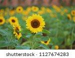 close up sunflower flowers ...   Shutterstock . vector #1127674283