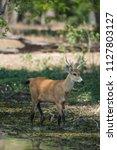 marsh deer  pantanal brazil   Shutterstock . vector #1127803127