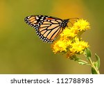 Monarch butterfly on yellow goldenrod flower - stock photo
