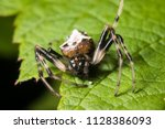 an arrowhead spider rests on a... | Shutterstock . vector #1128386093