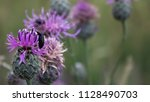 blooms with insect on it eating ... | Shutterstock . vector #1128490703