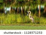 great blue heron wading bird... | Shutterstock . vector #1128571253