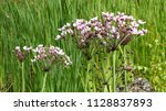 butomus umbellatus is the old... | Shutterstock . vector #1128837893
